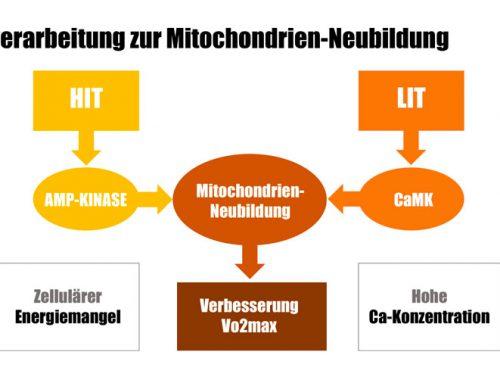 Erschließe neue Leistungspotenziale durch Mitochondrien-Neubildung